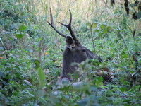 041203031854_head_of_sambar_deer