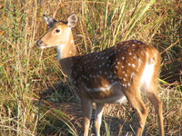 041203183630_retrospect_of_the_spotted_deer