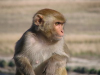 041203201452_junior_monkey_king_in_dhikala