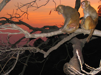 041205035930_monkey_sunset_at_haridwar