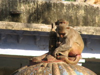 041221152638_two_bundi_monkeys
