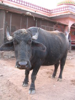 041222170454_indian_bull_cow_at_ganesha_temple_of_rathamhbore