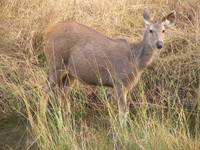 041223155902_sambar_deer_at_ranthambhore