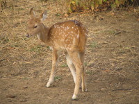 041223162306_baby_spotted_deer_at_ranthambhore