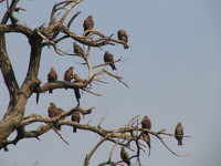 050106140822_tree_of_hawks