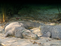 050106142636_marsh_crocodiles