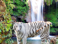 050106151624_white_tiger_and_waterfall