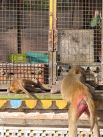 041221151330_monkeys_in_front_of_the_hanuman_temple
