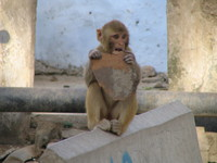 041221152844_monkey_eating_cake_like_object_in_bundi