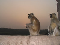 041222170818_loning_monkey_at_rathamhbore_sunset