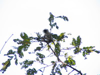 041230095202_black_faced_languor_at_kanha