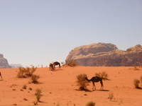 016_wild_camels