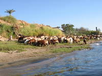 005_goats_of_the_nile