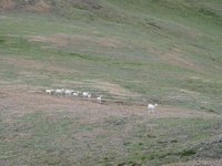 07210063_dall_sheep_pass