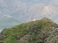07210064_dall_sheep_leave