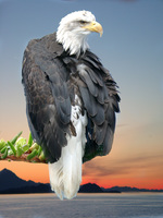 06170211_sunset_eagle
