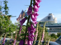 06170159_purple_flower_and_cruise_ship