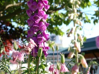 06170161_purple_flowers