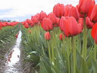 021_a_rank_of_red_tulips