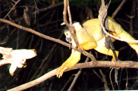 008_yellow_monkey