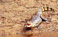 017_alligator_with_open_mouth