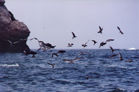 005_ballestas_-_sea_birds