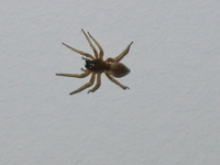 110_brown_spider