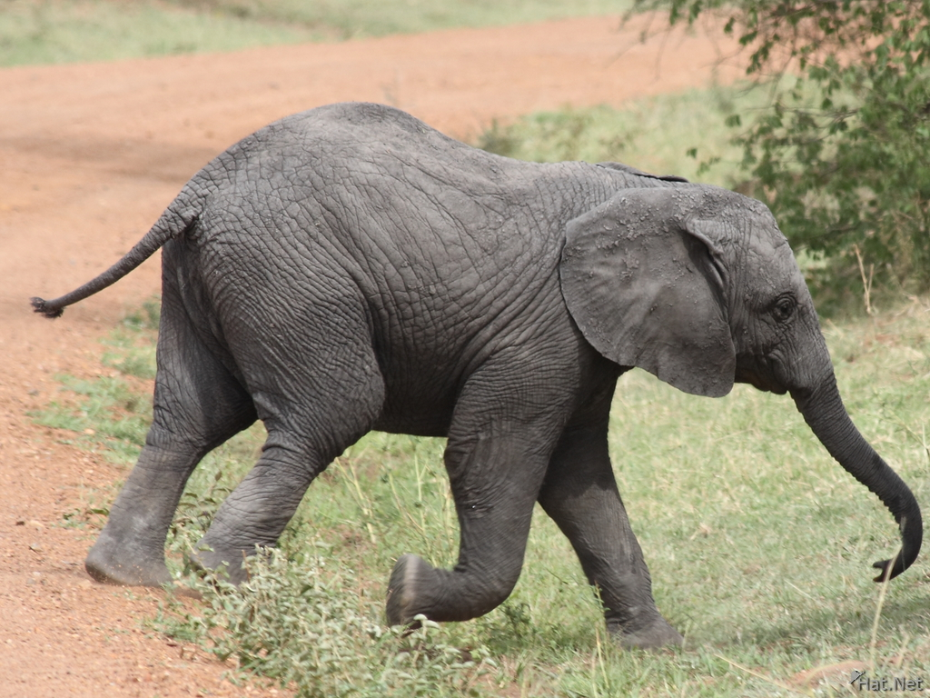 baby elephant in hurry