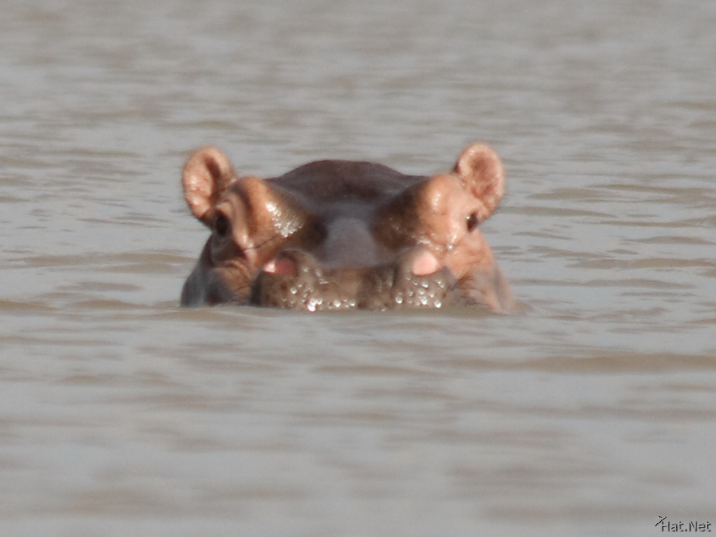hippopotamus in lake victoria