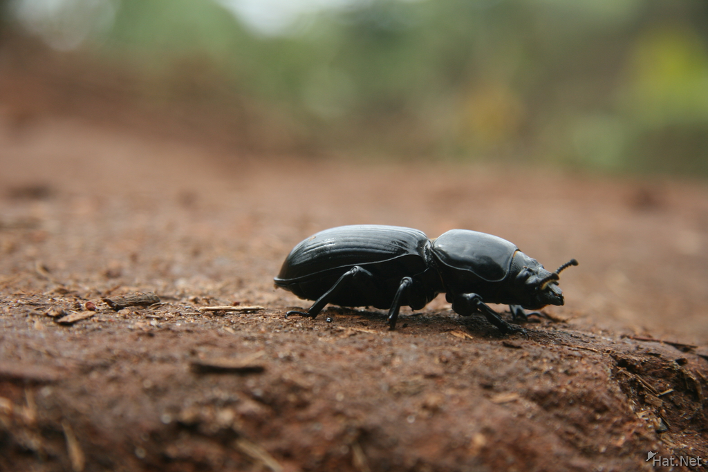 dung beatle essay Dim is a rhinoceros beetle who has a childlike nature manny mistakenly calls him a dung beetle, when he is really a rhinoceros beetle.