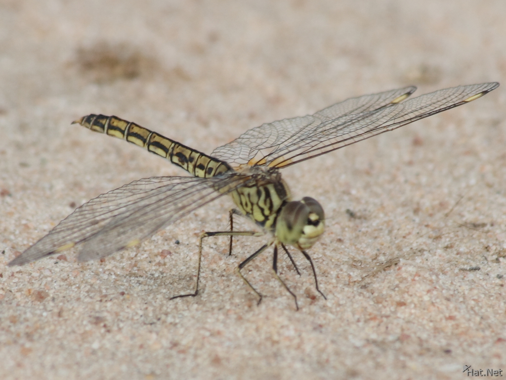 view--female dragon fly