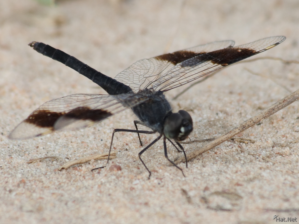 male dragon fly