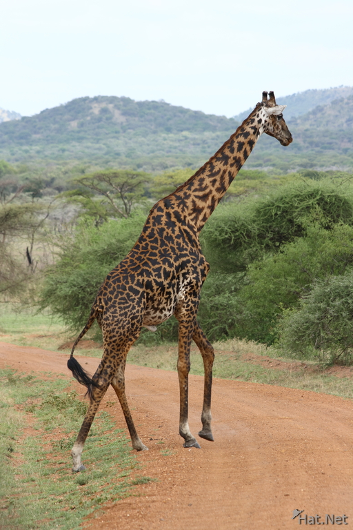masai giraffe crossing