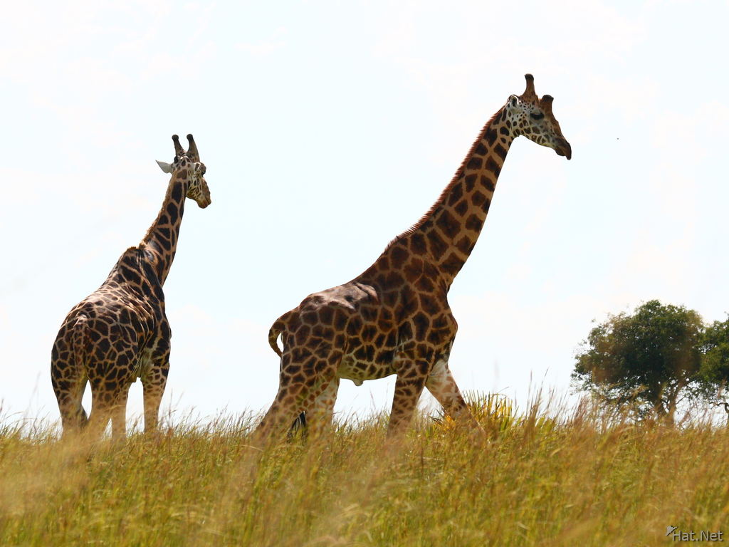 two giraffes in murchison falls