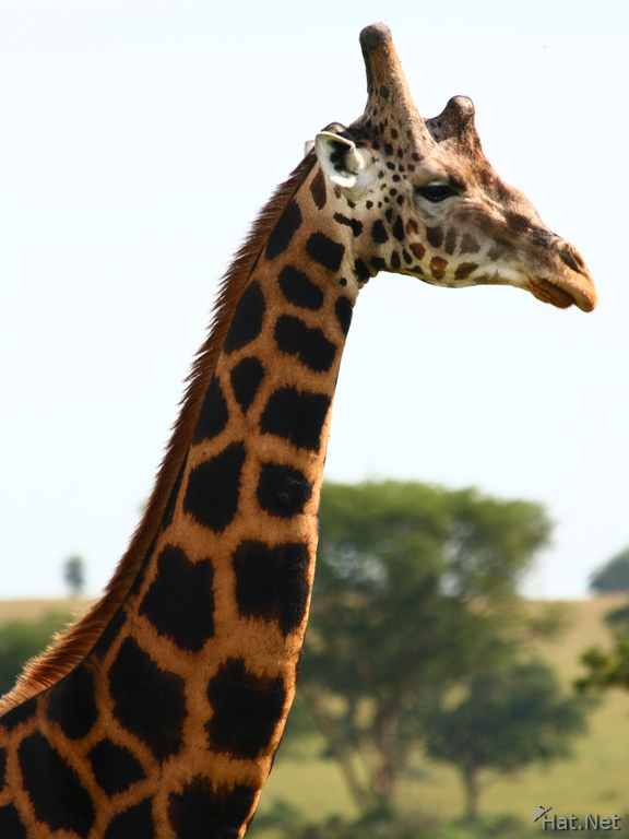 five horned rothschild giraffe in uganda