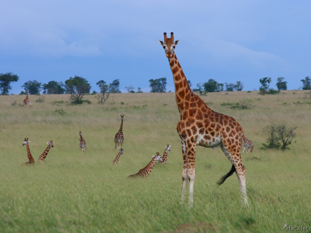 view--rothschild giraffe and his family