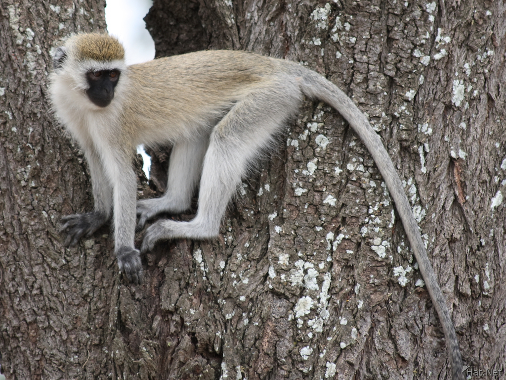 regret of vervet monkey