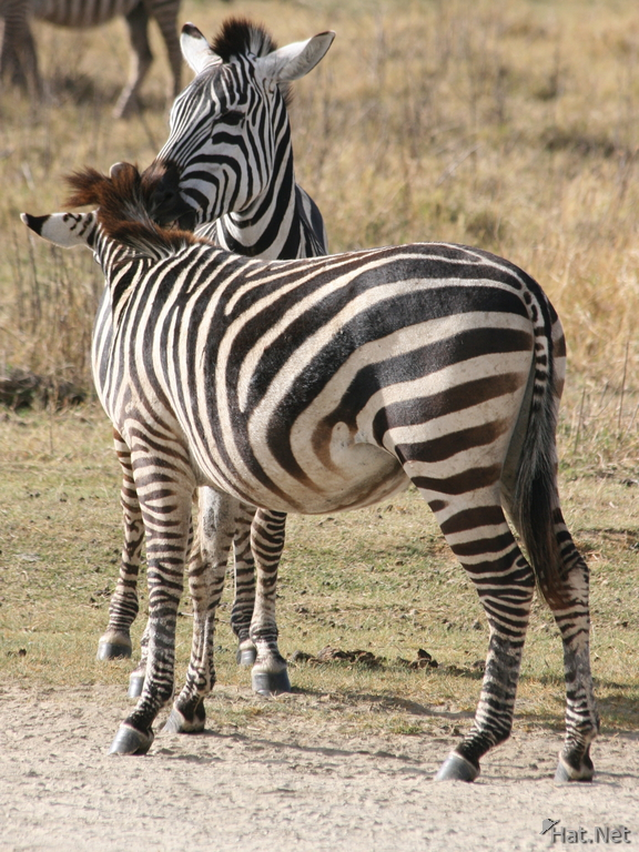 view--zebras kissing