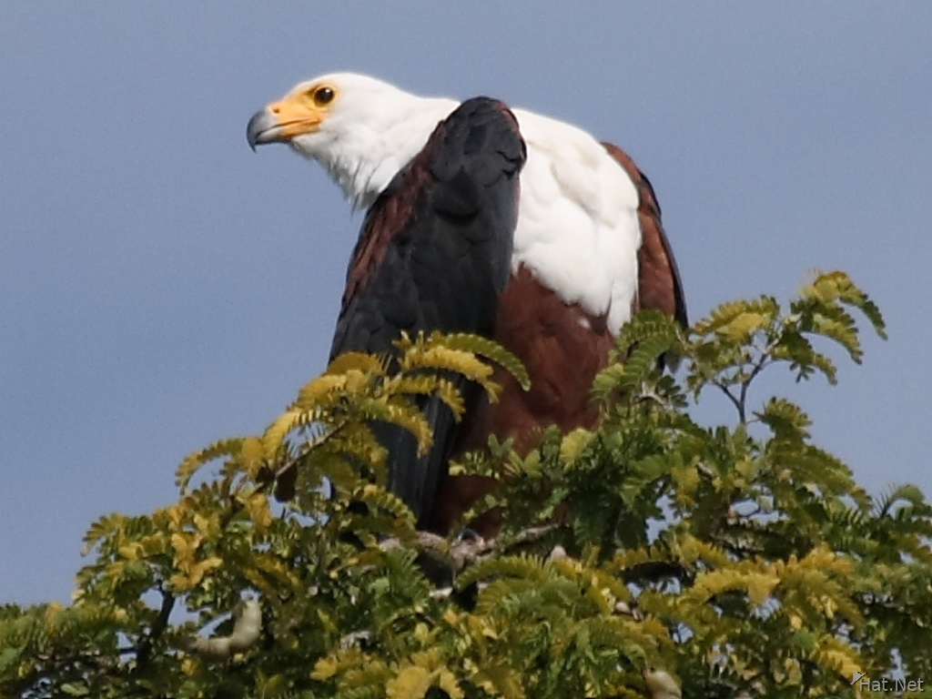 view--african fish eagle