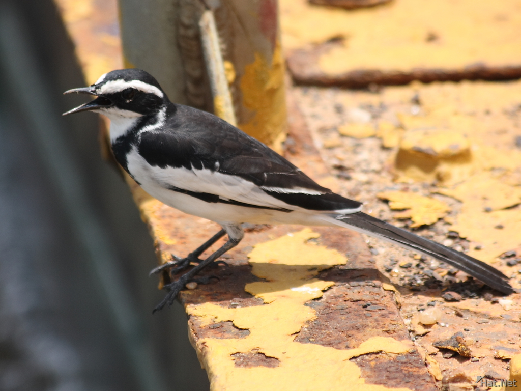 african pied wag tail