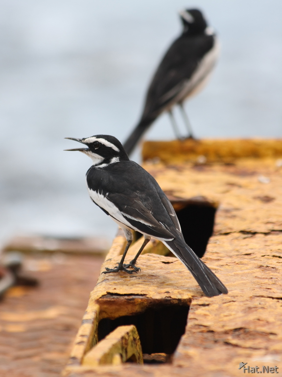 view--african pied wag tail