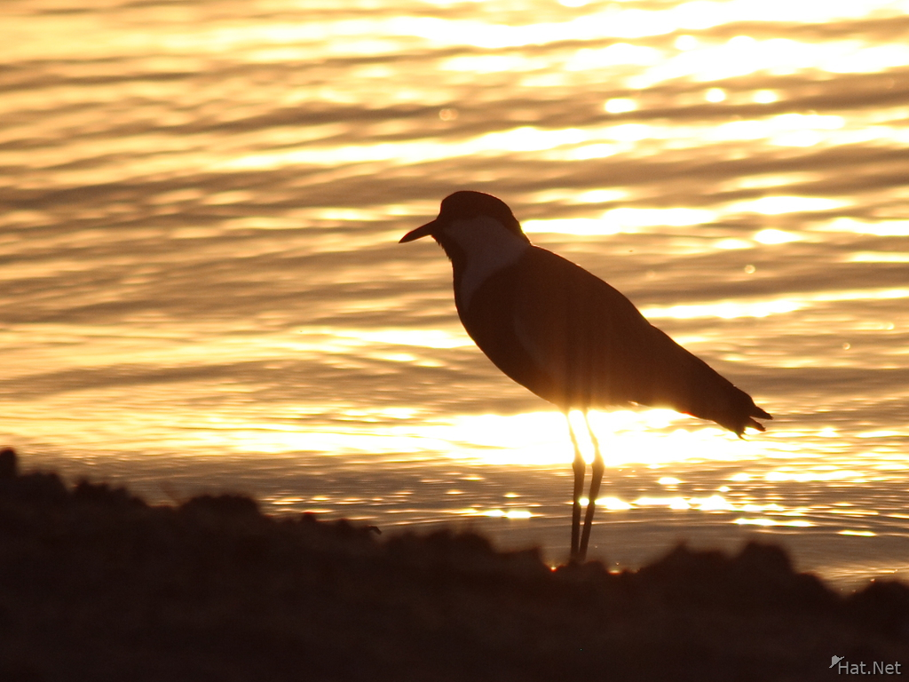 view--blacksmith lapwing in sunset