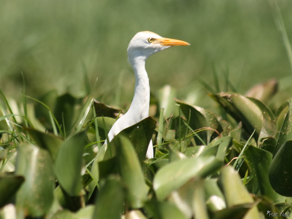 view--cattle egret on water hyacinth