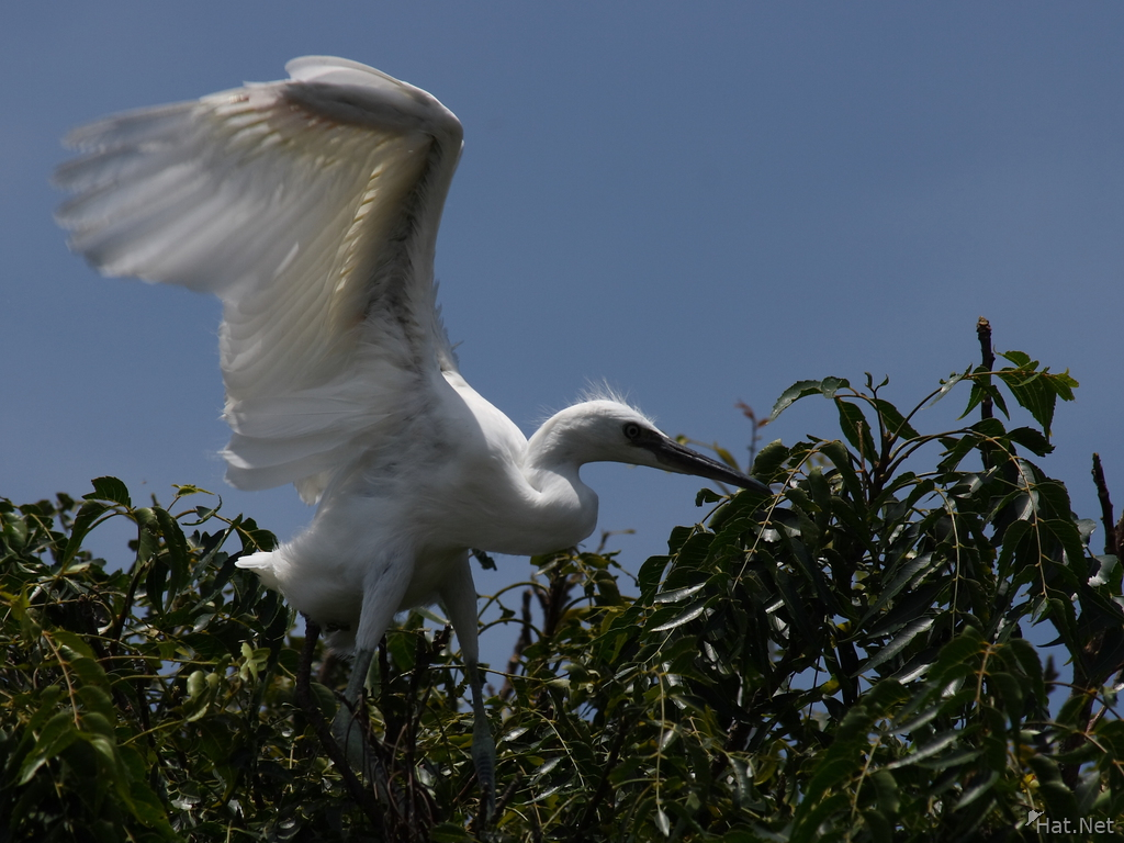 little egret takes off, egrets : Story of Africa