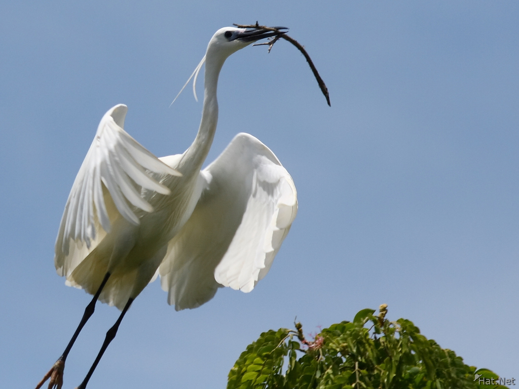 view--egret building nest