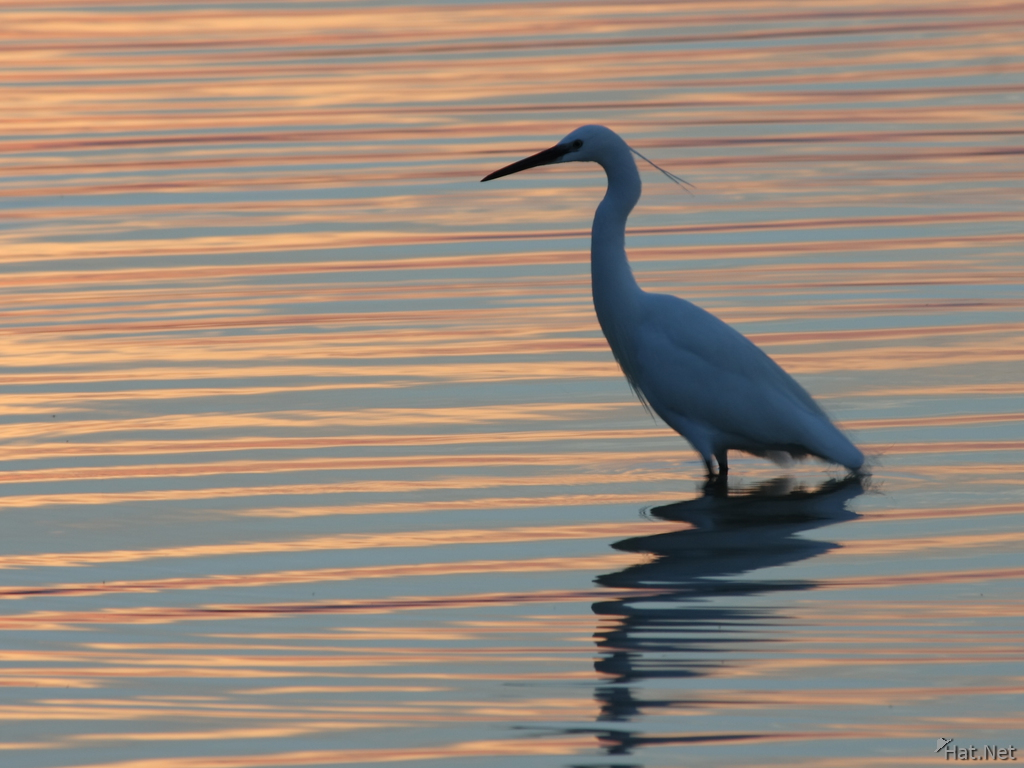 view-egret in sunset
