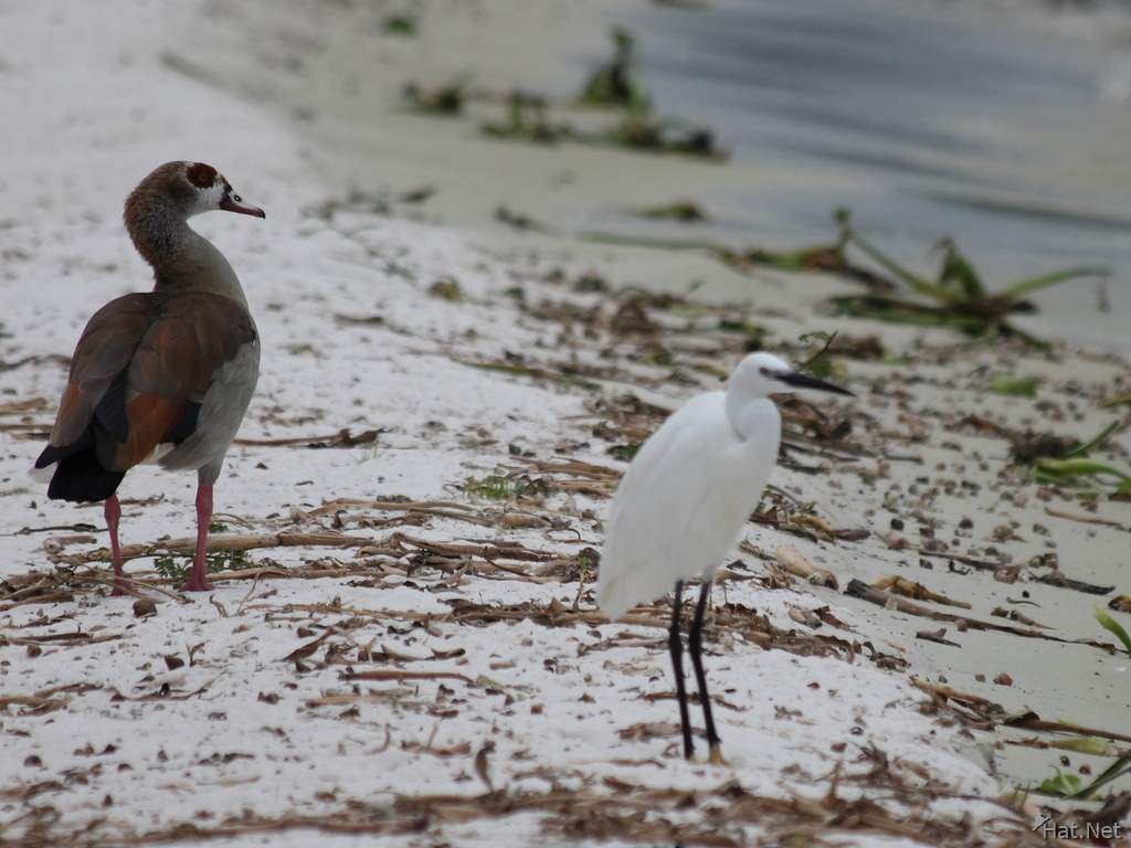 little egret and egyptian goose