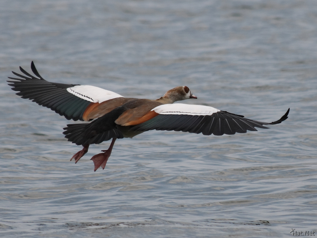 How do geese learn to fly in a wedge? - Quora