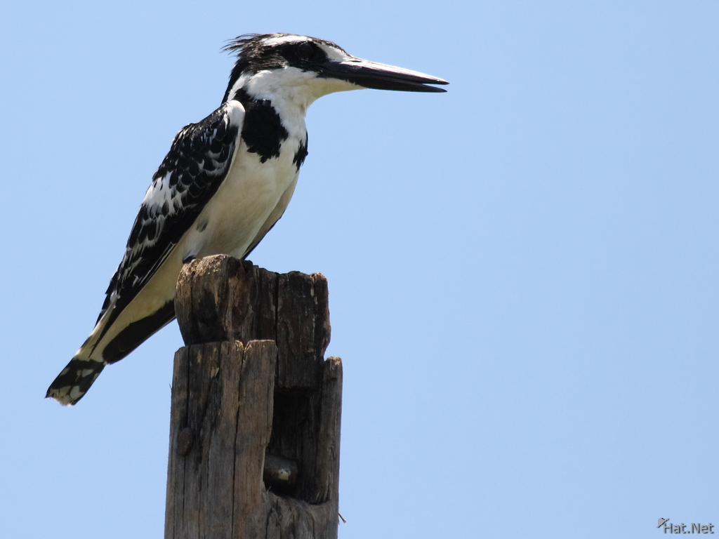 view--pied king fisher