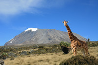 100_the_giraffe_who_wants_to_climb_kilimanjaro